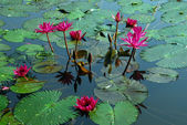 Pink Water Lily Flower in pond — Stock Photo
