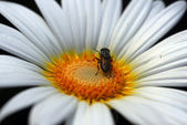 Honeybee on white daisy flower — Stock Photo