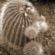 Royalty-Free Stock Photo: Cactus Notocactus Claviceps sepia