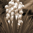 YuccbaccatFlower sepia — Stock Photo #1392130