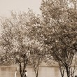 Cherry Blossom sepia — Stock Photo #1392286