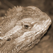 Desert spiny lizard sepia — Stock Photo