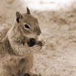 Squirrel sepia — Stock Photo #1392670