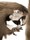 Green Macaw Eating Apple sepia — Stock Photo