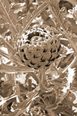 Growing Artichoke sepia — Stock Photo