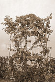 Trained Bougainvillea sepia — Stock Photo