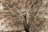 Peacock dance attracting peahen sepia — Stock Photo