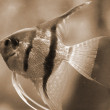 GoldFish in Aquarium sepia — Stock Photo