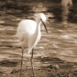 Watchful Crane Bird sepia — Stock Photo