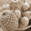 Cactus Plants sepia — Stock Photo #1444938