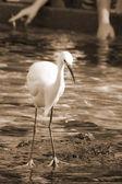 Czujny żuraw ptak sepii — Zdjęcie stockowe