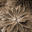 Stock Photo: Aloe Succulent sepia