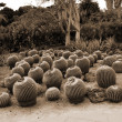 Cactus plantation sepia — Stock Photo #1457521