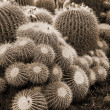 Cactus Notocactus Claviceps sepia — Stock Photo #1457648