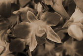 Orchid Flower Phalaenopsis sepia — Stock Photo