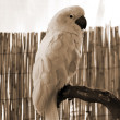 White macaw Parrot perched sepia — Stock Photo