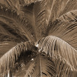 Stock Photo: Cycad Palm plant sepia