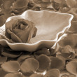 Stock Photo: Red Rose flower petals sparomatherapy sepia