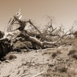 Stock Photo: Uprooted Fallen Dry Tree