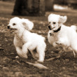 Stock Photo: Poodle Dogs Playing in Park