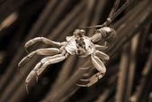 Crab Torture sepia — Stock Photo