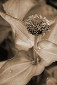 Pink Calendula Flower Bud sepia — Stock Photo