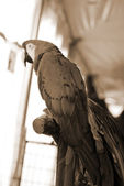 Red Macaw Bird sepia — Stock Photo