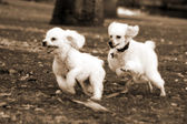 Poodle Dogs Playing in Park — Stock Photo