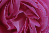 Pink Rose flower Petals Closeup — Stock Photo