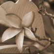 Pink Plumeria Flower sepia - Stock Photo