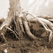 Bonsai Plant roots sepia — Stock Photo