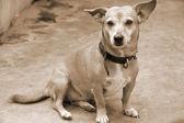 Pet Dog Candid sepia — Stock Photo