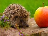 Hedgehog and apple on the tree stump — Stock Photo