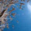 A view of the blue sky through spikelets — Stock Photo #1277448