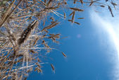 A view of the blue sky through spikelets — Stock Photo