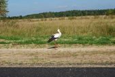 Stork by the wayside — Stock Photo