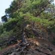 Pine growing on a steep hillside — Stock Photo