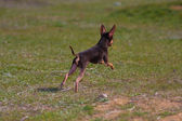 Dog of the toy terrier breed — Stock Photo