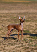 Dog breed toy terrier on nature — Stock Photo