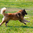 Leonberger dog breed is played on a lawn - Stock Photo