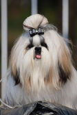 Lhasa Apso mystical amazing dog — Stock Photo