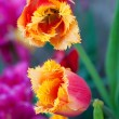 Red and yellow tulips bloom in garden — Stock Photo