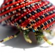 Hermit crab in beautiful red-black shell — Stock Photo