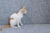 Red white sitting cat — Stock Photo