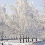 Winter birch trees alley — Stock Photo