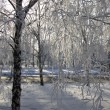 Winter birch trees alley — Stock Photo #1818143