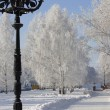 Stock Photo: Winter birch trees alley