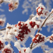Stock Photo: Frozen ashberry