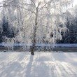 Winter birch trees alley — Stock Photo #1818447
