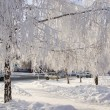 Winter birch trees alley — Stock Photo #1818517